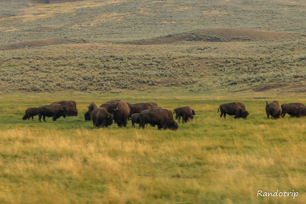 Des bisons dans la Lamar Valley à Yellowstone