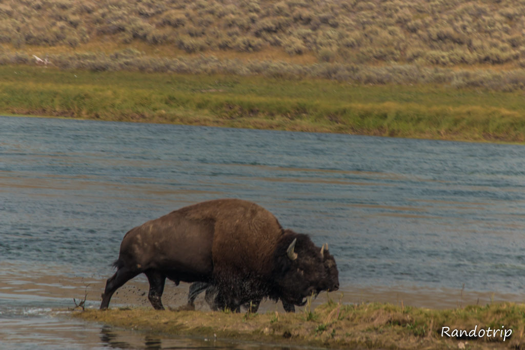 Un bison dans la Hayden Valley à Yellowstone