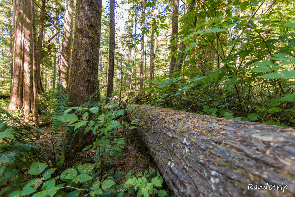 Sur le Big Cedar Tree Trail à Olympic National Park dans l'Etat de Washington