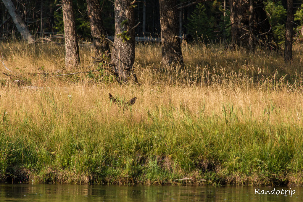Des mule deers à Yellowstone